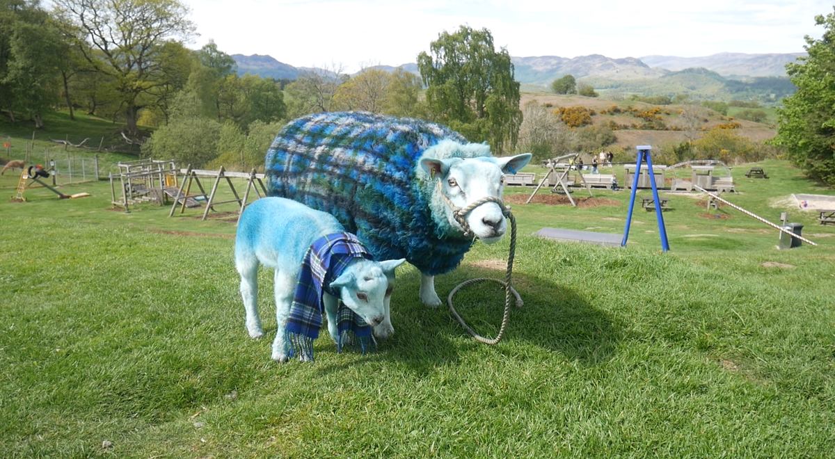 Lamb-azing Grace! Sheep flock to model SIMS tartan